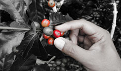 Coffee as a commodity